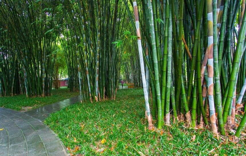Bamboo origin and division