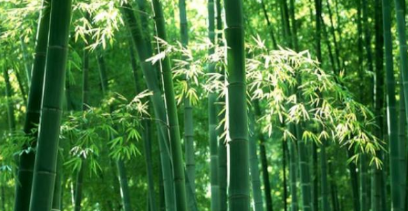 Is bamboo a tree or not